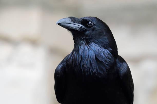 gewone raaf (corvus corax) - ornithologie stockfoto's en -beelden