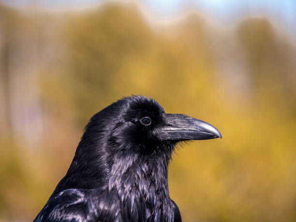 common raven (corvus corax) - naturediver stock pictures, royalty-free photos & images