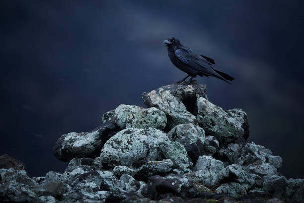 Common raven (Corvus corax) sitting on rocks in a snow blizzard. Dramatic photo from Bulgaria, Rodopy stock photo
