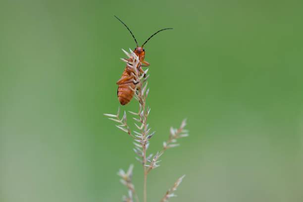 Common red Weichkäfer – Foto