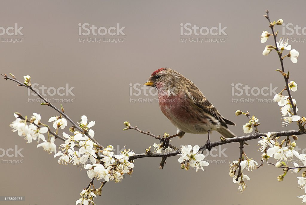Common Redpoll on Hawthorn Blossom royalty-free stock photo