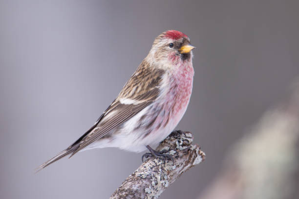 Common redpoll perched on a branch - taken in winter in the Sax-Zim Bog in Northern Minnesota Common redpoll perched on a branch - taken in winter in the Sax-Zim Bog in Northern Minnesota songbird stock pictures, royalty-free photos & images