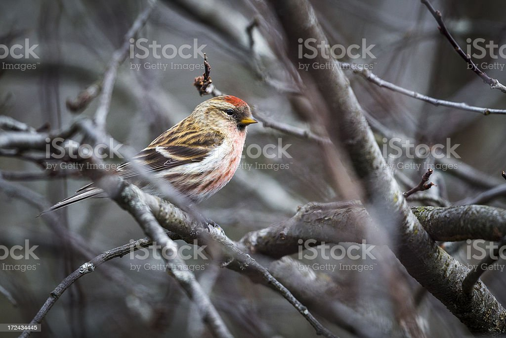 Common Redpoll stock photo