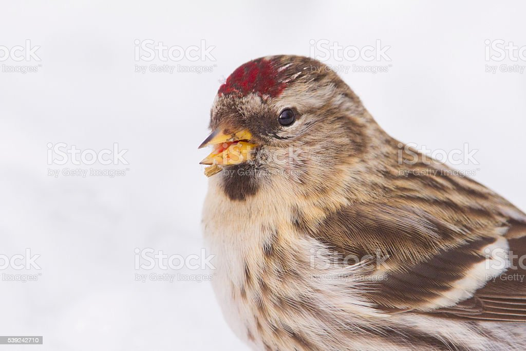 Common redpoll royalty-free stock photo