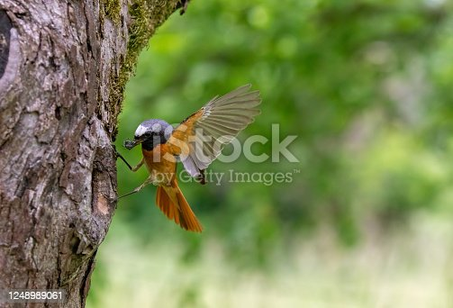 Male common redstart (Phoenicurus phoenicurus) landing on a tree hole with prey for feeding the fledglings.