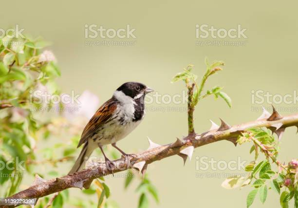 Common Reed Bunting Perched In A Rose Bush Stock Photo Download Image Now Istock