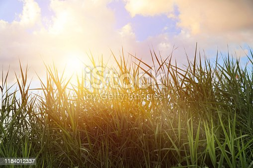 876420064 istock photo Common reeds and sunbeams 1184012337