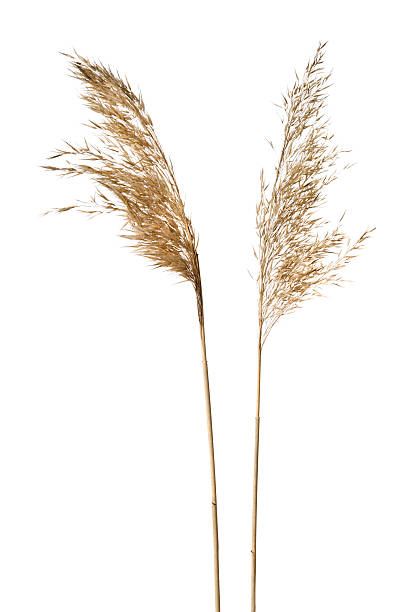 Common reeds on white background Common reed (Phragmites australis) inflorescence isolated on white. dried plant stock pictures, royalty-free photos & images