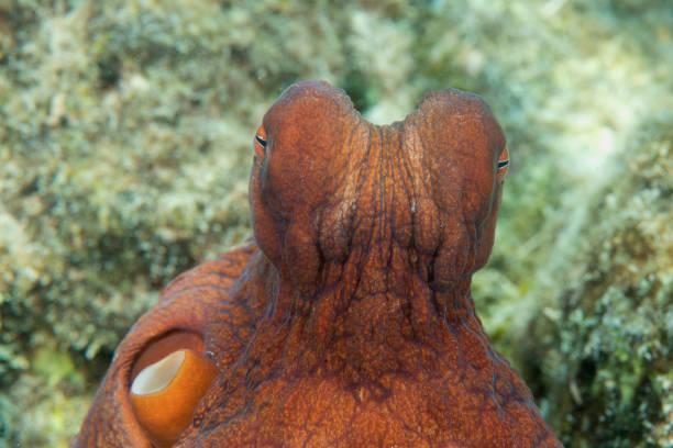 Common reef octopus stock photo