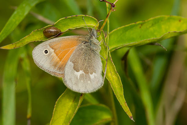 Common Ringlet Butterfly stock photo
