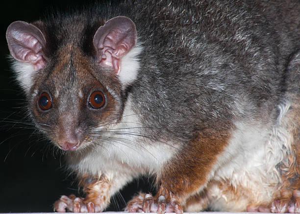 Common ringtail possum (Pseudocheirus peregrinus) stock photo