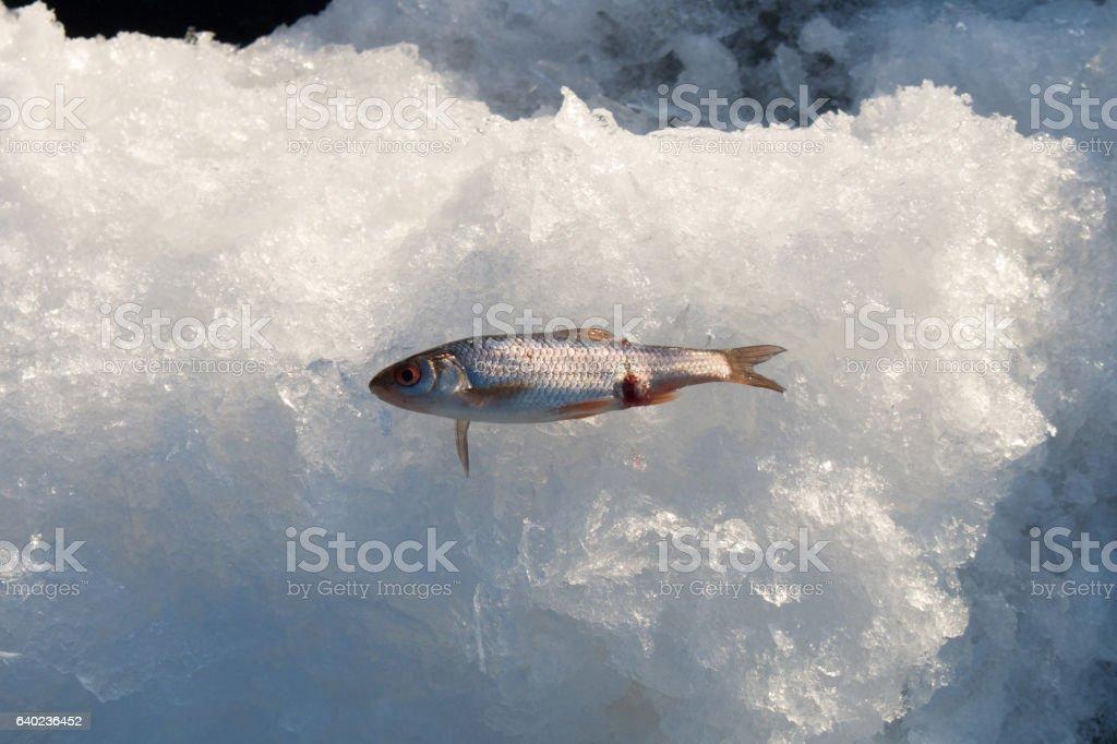 Common roach lying on ice stock photo