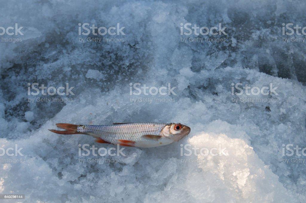 Common roach on ice stock photo