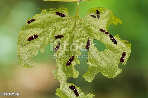 Close up of Common Rose (Pachliopta aristolochiae) caterpillars on their host plant leaf in nature
