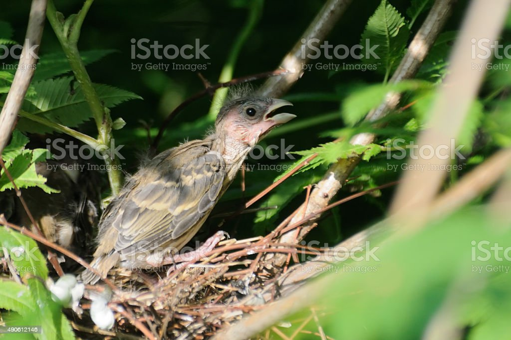 Common Rosefinch chick in the nest stock photo