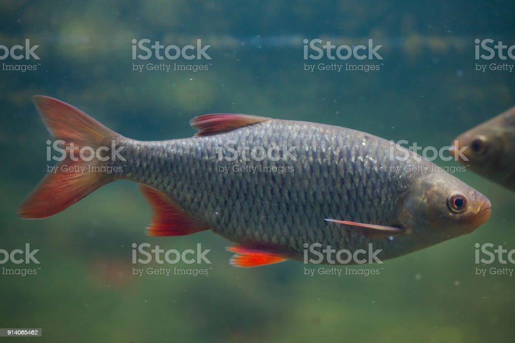 Common rudd (Scardinius erythropthalmus). stock photo