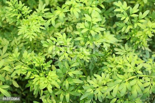 Common Rue - Rutaceae - Ruta Graveolens