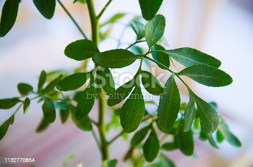 Ruta graveolens, strong smelling rue, common rue or herb-of-grace, is a species of Ruta grown as an ornamental plant and herb. It's also used in teas, and it has many health benefits.