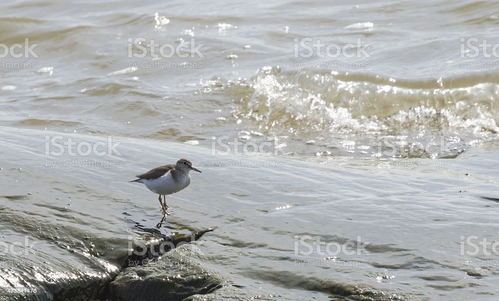 Common sandpiper on the shore stock photo