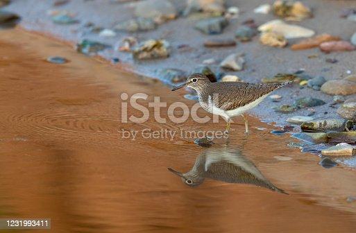 Common sandpiper (Actitis hypoleucus) standing in water.