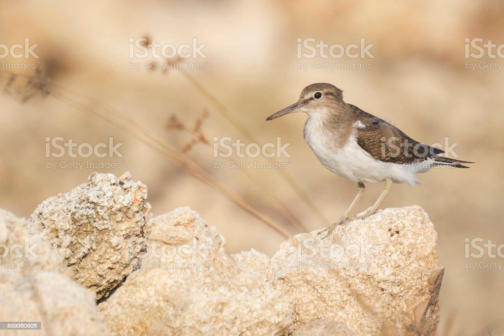 Common Sandpiper stock photo