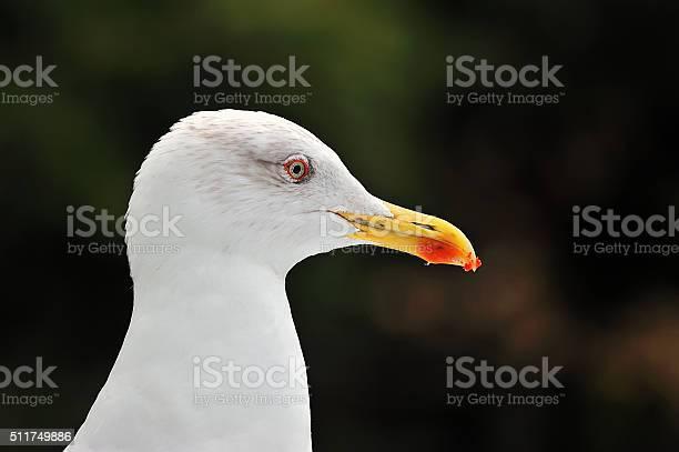 Photo of Common seagull head portrait