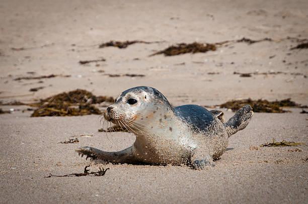 Common Seal im Rantum Beach – Foto