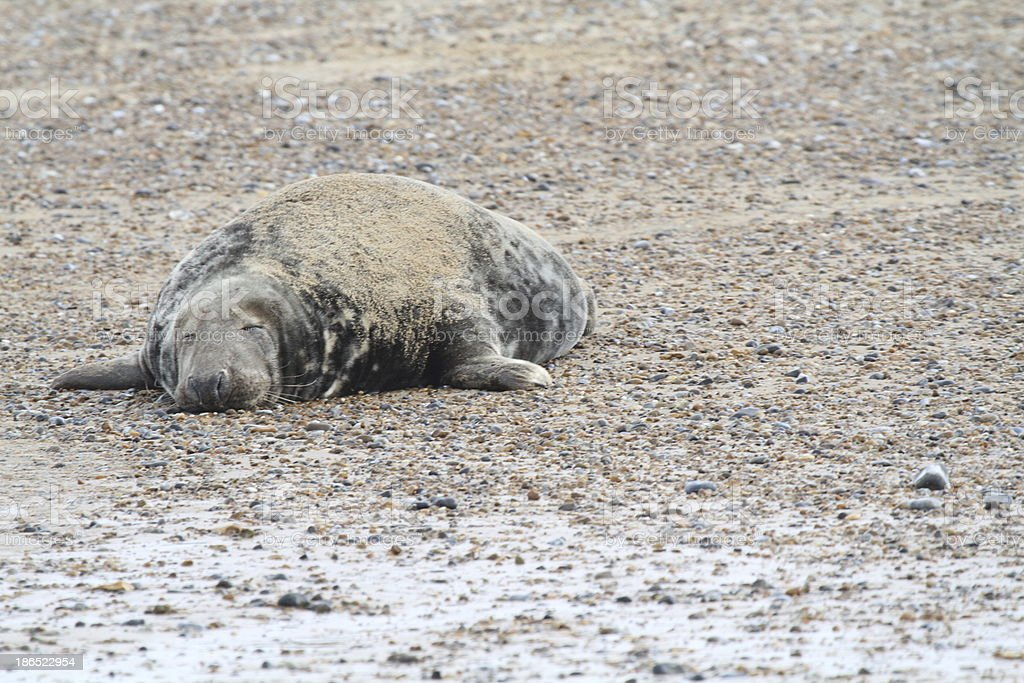 Common seal in Norfolk royalty-free stock photo