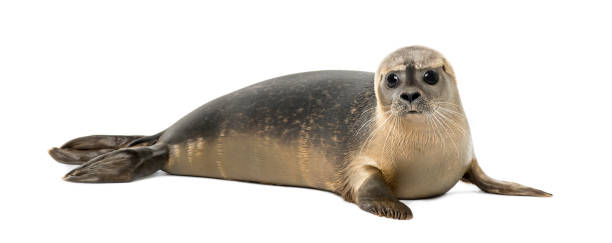 Common seal lying, looking at the camera, Phoca vitulina, 8 months old, isolated on white Common seal lying, looking at the camera, Phoca vitulina, 8 months old, isolated on white seal pup stock pictures, royalty-free photos & images