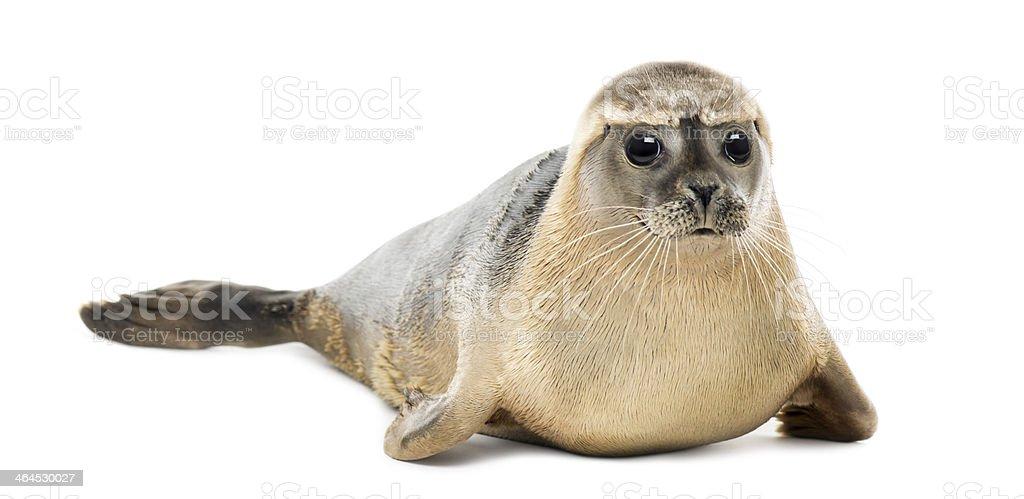 Common seal lying, looking at the camera, Phoca vitulina stock photo