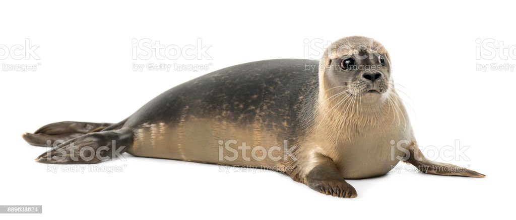 Common seal lying, looking away, Phoca vitulina, 8 months old, isolated on white stock photo