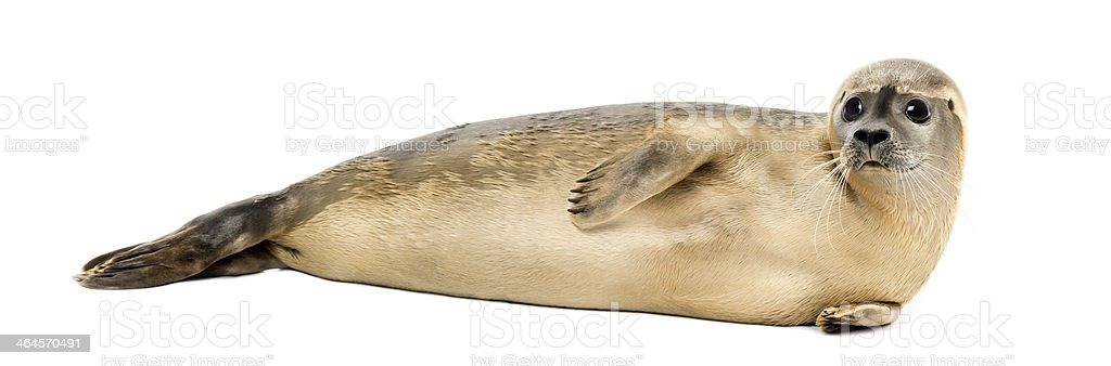 Common seal lying on the side, Phoca vitulina stock photo