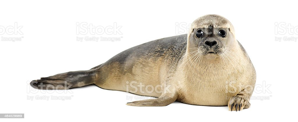 Common seal, Phoca vitulina lying on its stomach stock photo