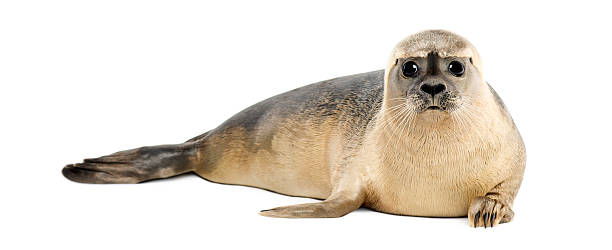 common seal, phoca vitulina lying on its stomach - 哺乳動物 個照片及圖片檔
