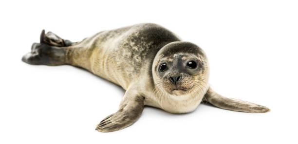 Common seal pup, isolated on white Common seal pup, isolated on white seal pup stock pictures, royalty-free photos & images