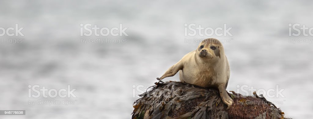 Common Seal resting on a rock stock photo