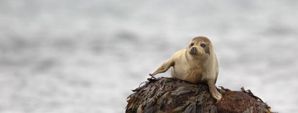 Common Seal resting on a rock A panorama format image of a wild Common Seal (Phoca vitulina) resting on a seaweed covered rock, against a blurred background, Flamborough Head, East Yorkshire, UK seal pup stock pictures, royalty-free photos & images