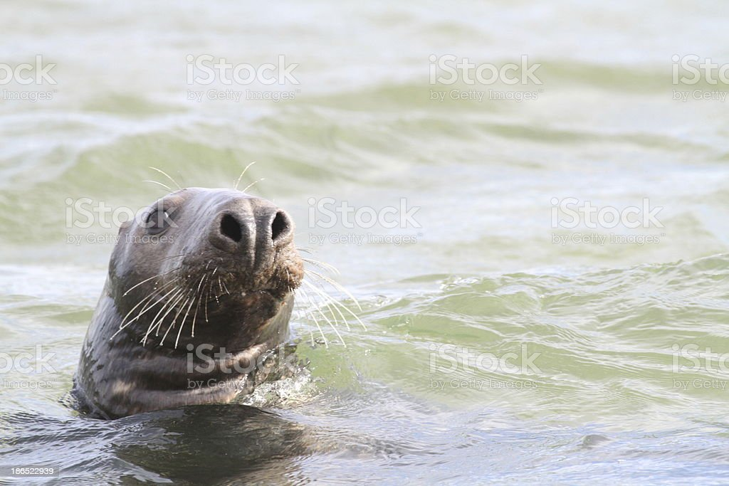 Common seal swimming in the sea, Norfolk royalty-free stock photo