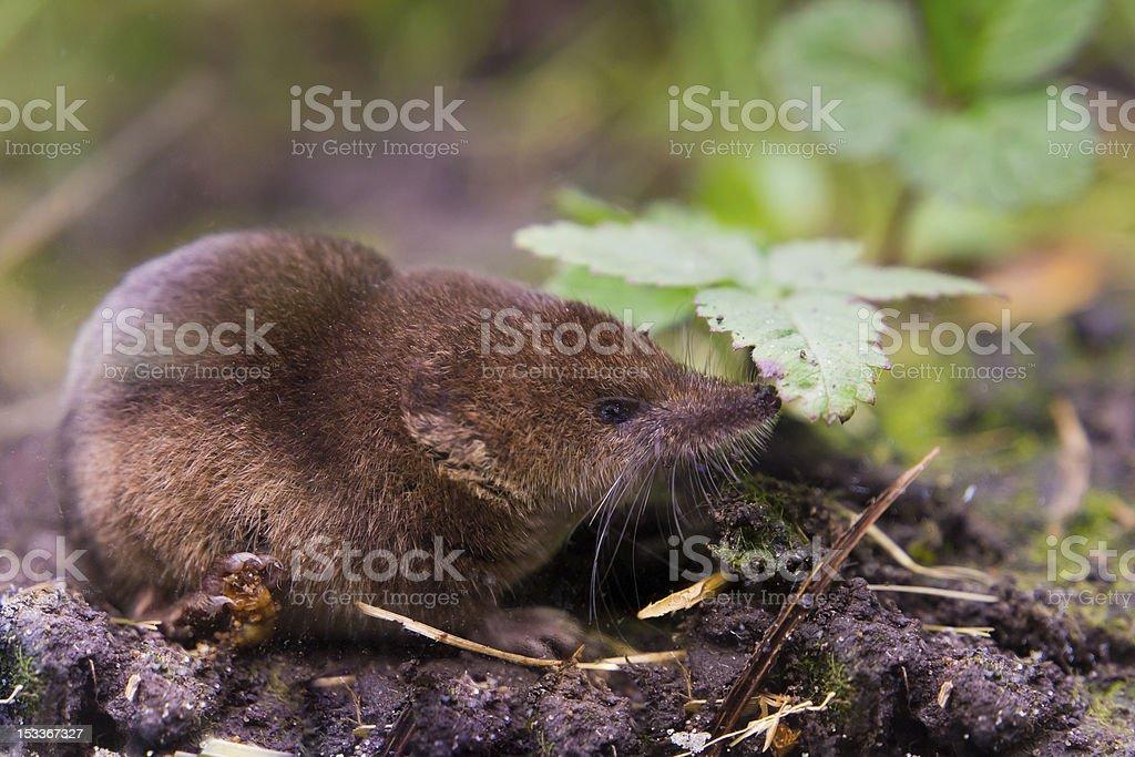 Common shrew (Sorex araneus) close up stock photo