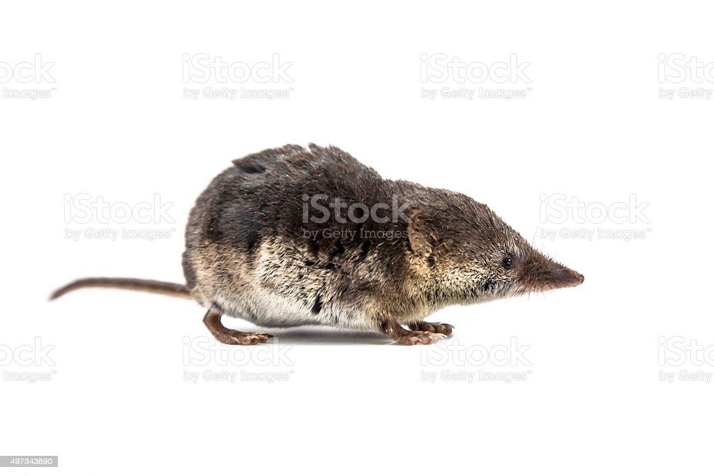Common shrew (Sorex araneus) on white background stock photo