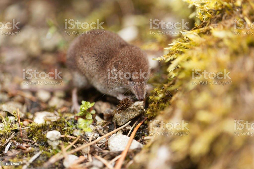 Common shrew, Sorex araneus stock photo