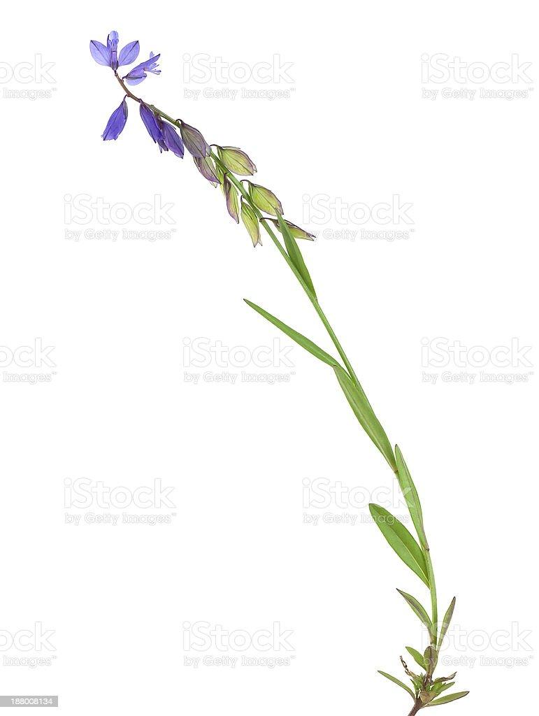 Common Skullcap, Scutellaria galericulata stock photo