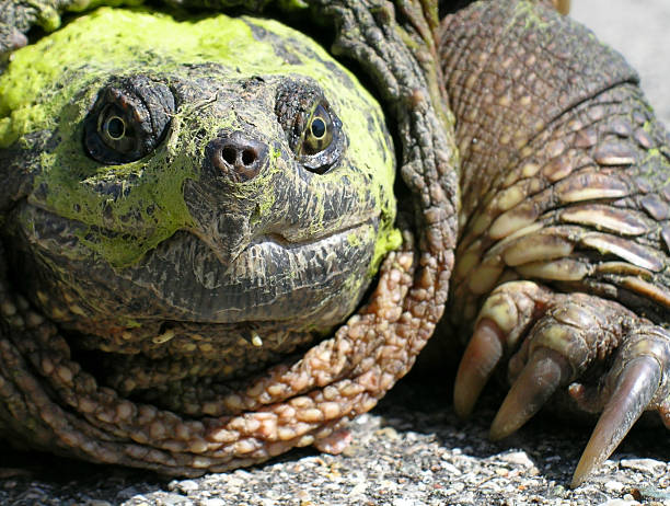 the man who shot snapping turtles essays Seven essential functions and comparisons of snapping turtles biology essay in order for the alligator snapping turtle to keep the man who mistook his wife for.