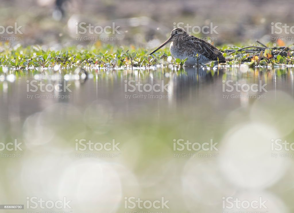 Common Snipe (Gallinago gallinago) stock photo