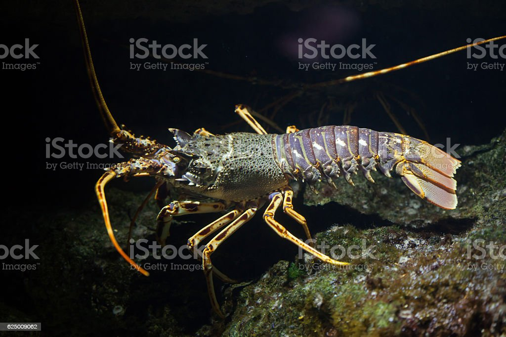 Common spiny lobster (Palinurus elephas). stock photo