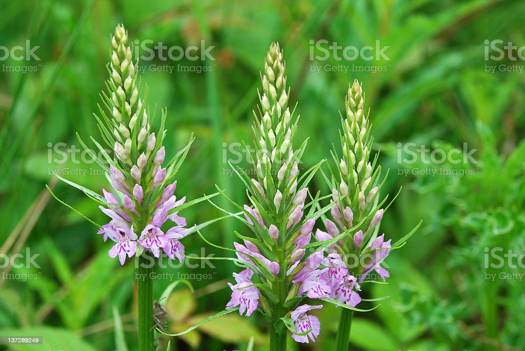 Common Spotted Orchid stock photo