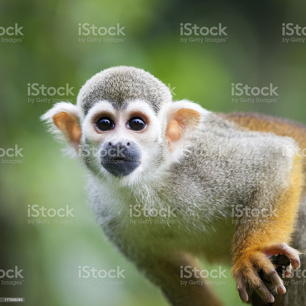 Common Squirrel Monkey (Saimiri sciureus) stock photo