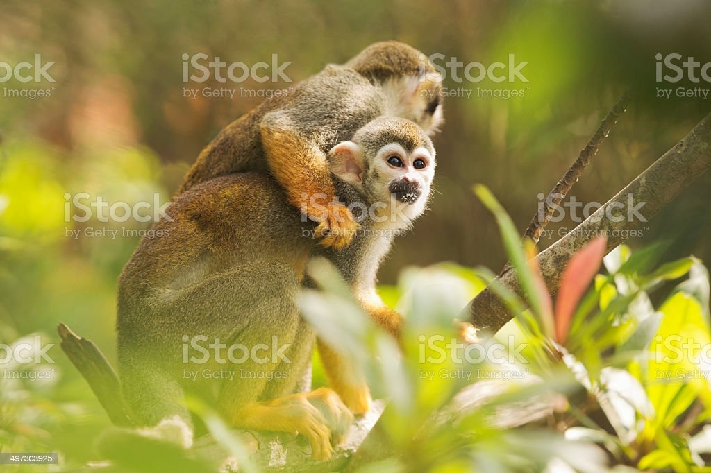 Common Squirrel Monkey royalty-free stock photo