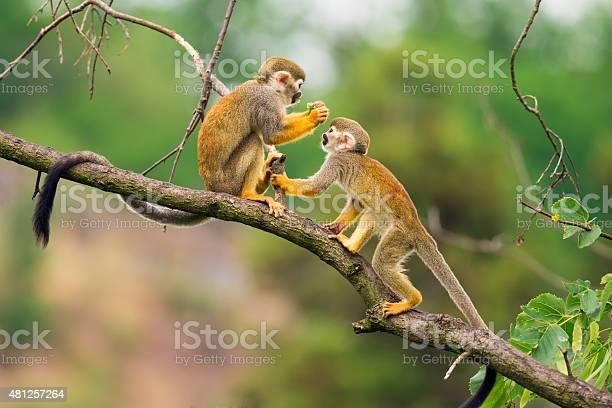 Common squirrel monkeys playing on a tree branch picture id481257264?b=1&k=6&m=481257264&s=612x612&h=dsohnrejiyjorym2j6khuhr8e34rp1qwymbkgg8ipvo=