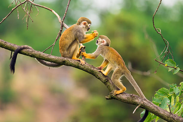 common squirrel monkeys  playing on a tree branch - forest animals stock photos and pictures